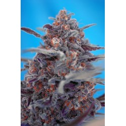Devil Cream Auto Feminized (Sweet Seeds)