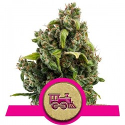 Candy Kush Express Fast Version Feminized (Royal Queen Seeds)