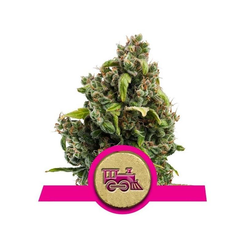 Candy Kush Express Fast Version Feminizowane (Royal Queen Seeds)