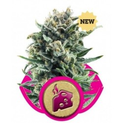 Blue Cheese Feminizowane (Royal Queen Seeds)