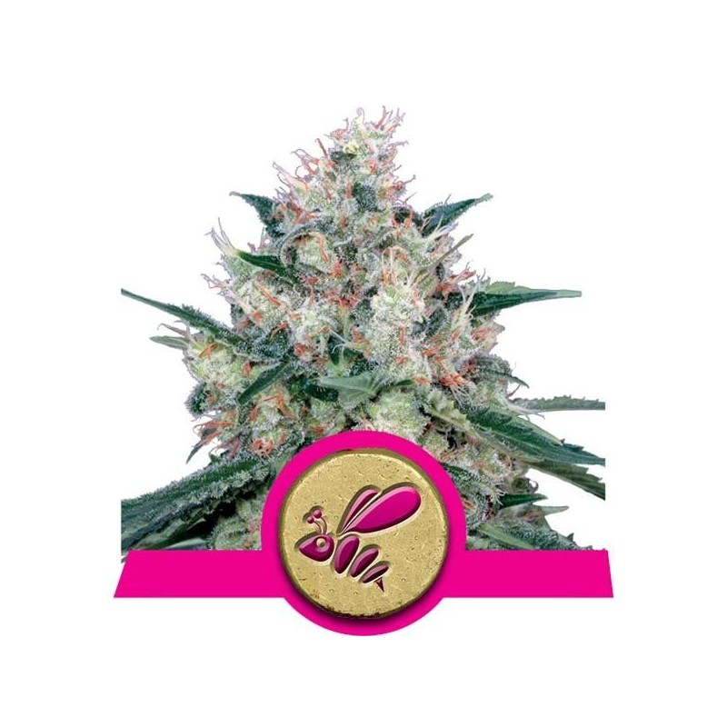 Royal Cream Fast Version Feminizowane (Royal Queen Seeds)