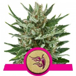 Speedy Chile Fast Version Feminized (Royal Queen Seeds)