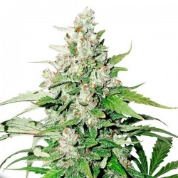 Auto Cinderella Jack Feminized (Dutch Passion)