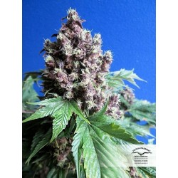Frisian Duck Feminized (Dutch Passion)