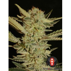Bubble Gum Feminizowane (Serious Seeds)