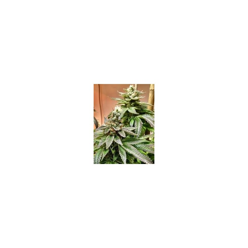 HASHMASTER Regular (Brothers Grimm Seeds)