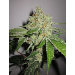 Ghost Rider Regularne (KARMA GENETICS)