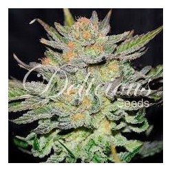 Auto Blue Ace CBD Feminized (Delicious Seeds)