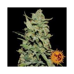 Peyote Critical Feminized  (Barneys Farm)