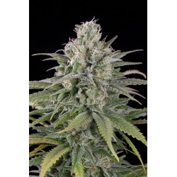 UK Cheese Auto Feminizowane (Humboldt Seed Organization)