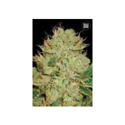 Auto Bigger Bud Feminized (Bulk Seed Bank)