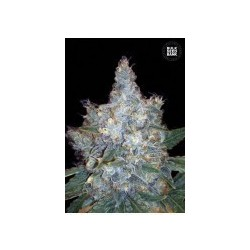Auto Blueberry Berry Feminized (Bulk Seed Bank)