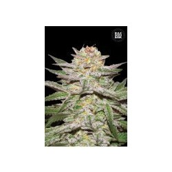 Auto Caramel King Feminized (Bulk Seed Bank)