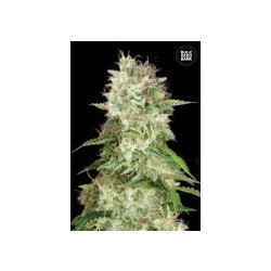 Auto Cheese Feminized (Bulk Seed Bank)