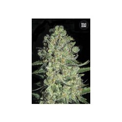 Auto Chronical Feminized (Bulk Seed Bank)
