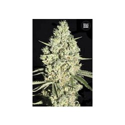 Auto Critical feminized (Bulk Seed Bank)