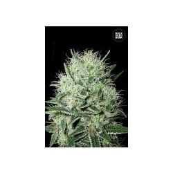 Auto Devil's Kiss Feminized (Bulk Seed Bank)