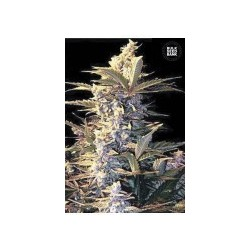 Auto Easy Rider Feminized (Bulk Seed Bank)