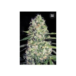 Auto Jack Hair Feminized (Bulk Seed Bank)