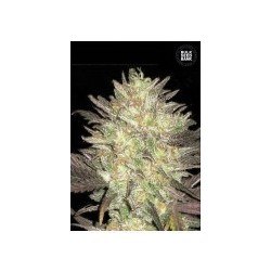 Auto Lavender Best Feminized (Bulk Seed Bank)