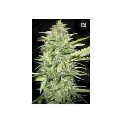 Auto Lime Skunk Feminized (Bulk Seed Bank)
