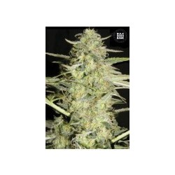 Auto Loveryder Feminized (Bulk Seed Bank)