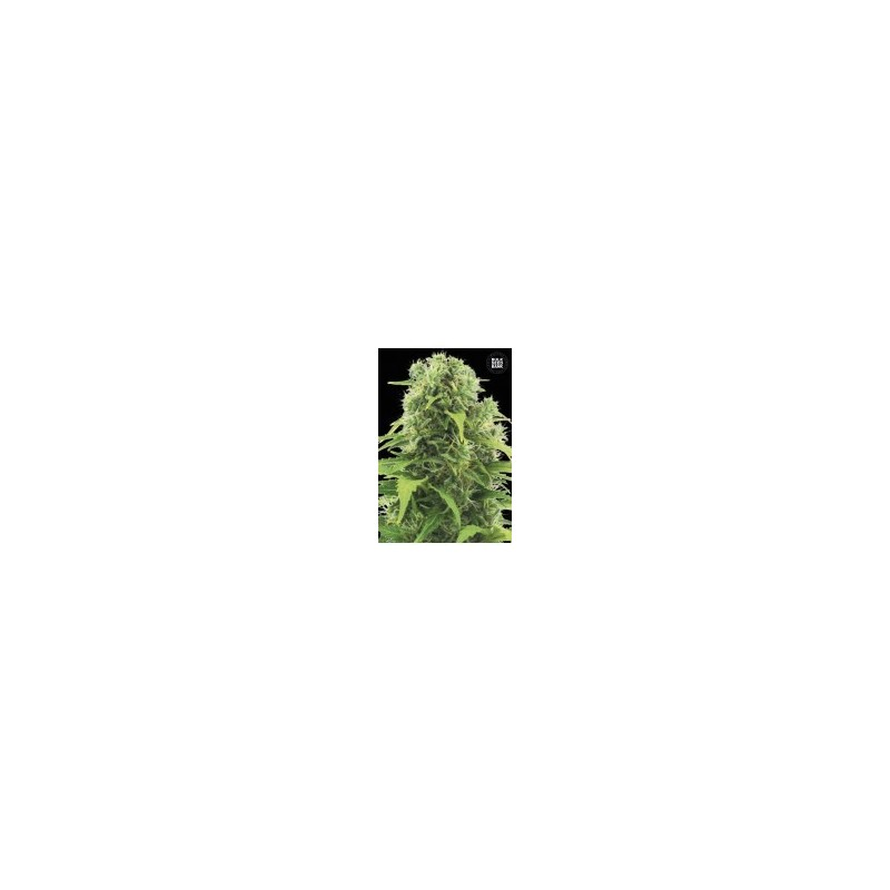 Auto Northern Light Feminized (Bulk Seed Bank)