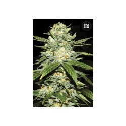 Auto Perfect Power Plant Feminized (Bulk Seed Bank))