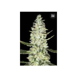 Auto Special Skunk Feminized (Bulk Seed Bank)