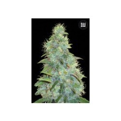 Auto Sweet Tooth Feminized (Bulk Seed Bank)
