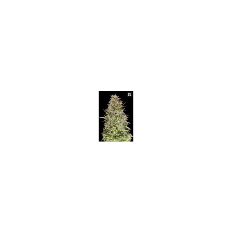 Auto White Prussian Feminized (Bulk Seed Bank)
