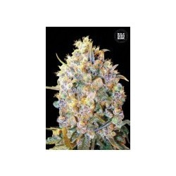 Bigger Bud Feminized (Bulk Seed Bank)