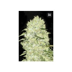 Bubblegum Extra Feminized (Bulk Seed Bank)