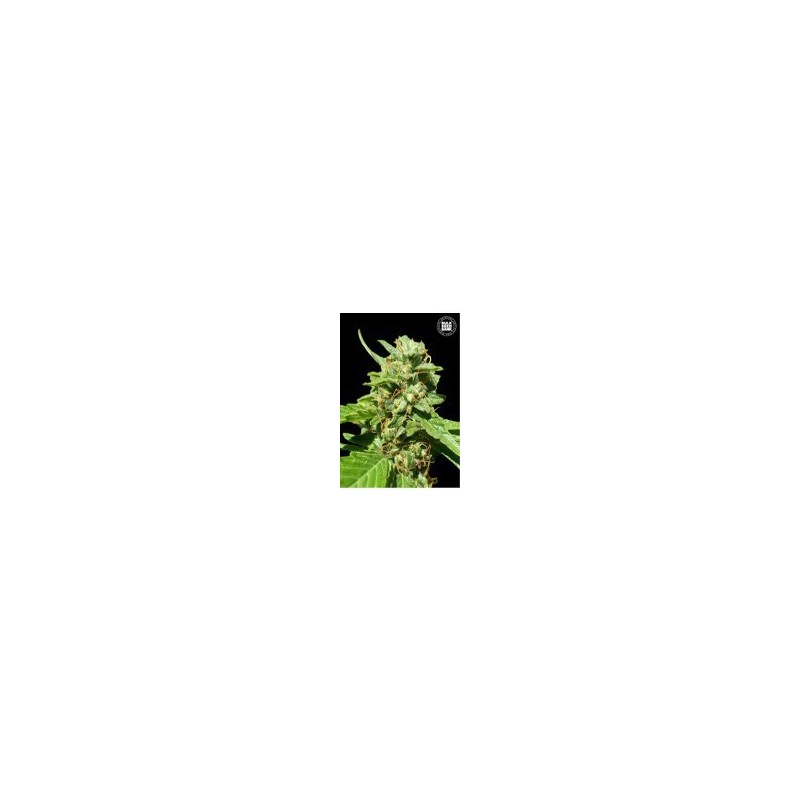 CBD Nepal Gold Feminized (Bulk Seed Bank)