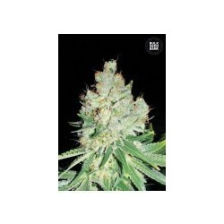 Cheese Feminized (Bulk Seed Bank)