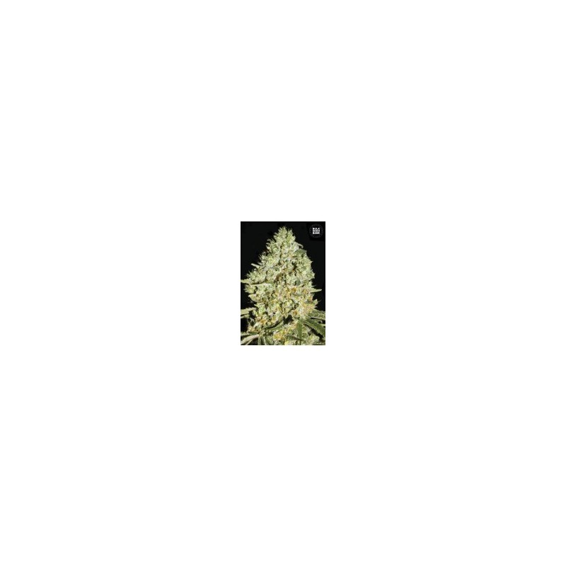 Critical Feminized (Bulk Seed Bank)