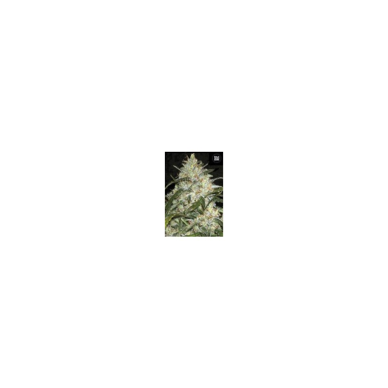 Grapefruit Feminized (Bulk Seed Bank)