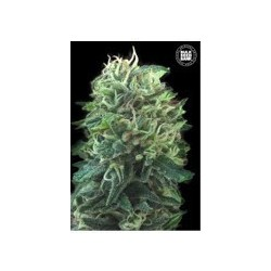 Green Scout Cookies Feminized (Bulk Seed Bank)