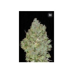 Jack Hair Feminized (Bulk Seed Bank)