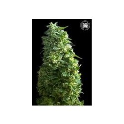 Lime Skunk Feminized (Bulk Seed Bank)