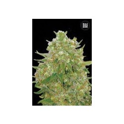 Master Kush Grand Feminized (Bulk Seed Bank)