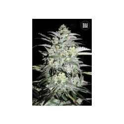 Moby Big Feminized (Bulk Seed Bank)