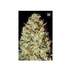 Nepal Gold Feminized (Bulk Seed Bank)