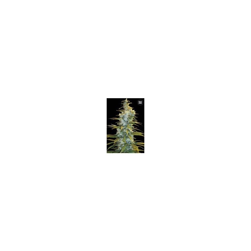 Northern Light Feminized (Bulk Seed Bank)
