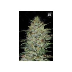 Sensible Star Feminized (Bulk Seed Bank)