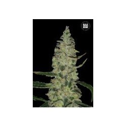 Special Skunk Feminized (Bulk Seed Bank)