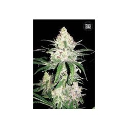 Super Lime Haze Feminized (Bulk Seed Bank)