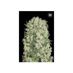 White Prussian Feminized (Bulk Seed Bank)