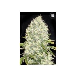 White Widow Feminized (Bulk Seed Bank)
