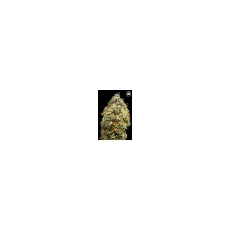Auto Original Orange Bud Feminized (Bulk seed Bank)